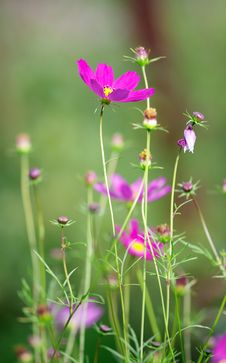 Free Cosmos Flower Stock Image - 16002211