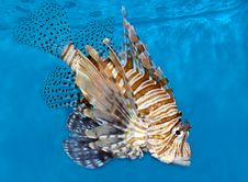 Free Lionfish Royalty Free Stock Images - 16002419