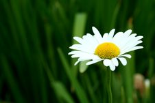 Free Bright White And Yellow Daisy Royalty Free Stock Photography - 16003767