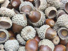 Free Autumn Acorns Royalty Free Stock Photo - 16003945