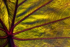 Free Elephant Ear Leaf In Close Up Stock Image - 16004581