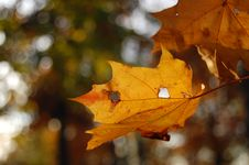 Free Autumn Maple Leaves Royalty Free Stock Images - 16004799