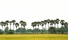 Free Rice Field Stock Images - 16005694
