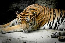 Free Tiger Sleeping Stock Photo - 16005820