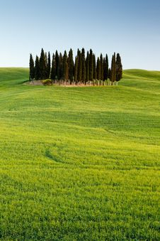 Free Group Of Cypresses In Tuscany Royalty Free Stock Images - 16006519