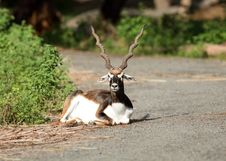 Free Blackbuck Stock Photography - 16006632