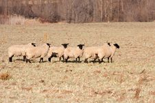 Free Farm Sheep Stock Photos - 16007343