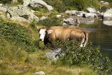 Free Cows Stock Photography - 16007492