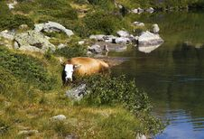 Free Cows Royalty Free Stock Images - 16007659