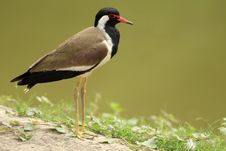 Red Wattled Lapwing Stock Image