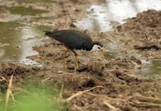 Free White-breasted Waterhen Royalty Free Stock Images - 16008249