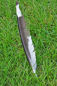 Free Seagull Feather Stock Photos - 16009353