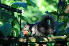 Free Squirrel With The Peach Royalty Free Stock Photo - 16009445