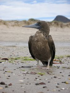 Free Brown Boobie On Beach In Mexico Royalty Free Stock Images - 16009659