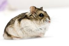Free Dwarf Hamster Royalty Free Stock Images - 16009909