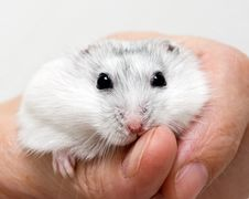 Free Dwarf Hamster Royalty Free Stock Photography - 16009937
