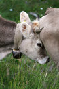 Free Cow Crash! Stock Photos - 16013293