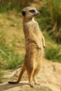 Free Meerkat Standing Upright Royalty Free Stock Photo - 16018305