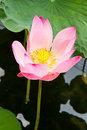 Free Pink Lotus Stock Photo - 16018860