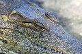 Free Crocodile Stock Photos - 16019613