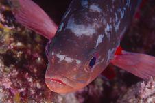 Free Pacific Creolefish, Paranthias Colonus Stock Images - 16011294