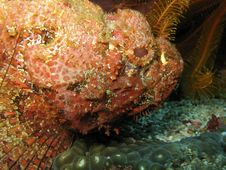 Scorpionfish In Dominica Stock Image