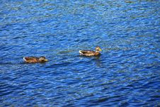 Free Ducks In A River. Stock Images - 16011504