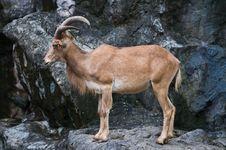 Free Brown Mountain Goat Royalty Free Stock Photos - 16011868