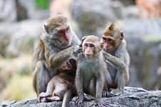 Free Family Of Monkeys Royalty Free Stock Image - 16011896