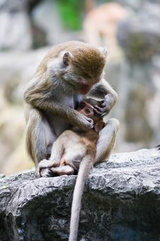 Free Family Of Monkeys Royalty Free Stock Photos - 16011908