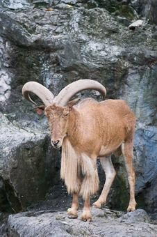 Free Brown Mountain Goat Stock Photography - 16011932