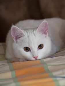 White Kitten On A Bed Linen Royalty Free Stock Photo