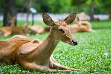 Deer Resting Stock Images