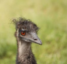 Free Emu Stock Photos - 16014883