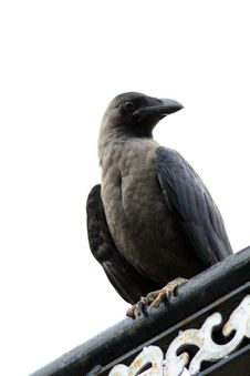 Free Jungle Crow (Corvus Macrorhynchos) Stock Photos - 16015903