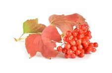 Free Ripe Viburnum Royalty Free Stock Photo - 16016485