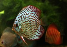Free Stripped Discus Royalty Free Stock Photo - 16017505