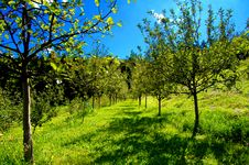 Free Apple Trees Royalty Free Stock Photography - 16017857