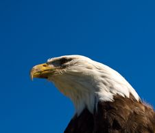 Free Bald Eagle Royalty Free Stock Image - 16018266