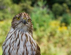 Free Falcon Stock Image - 16018311