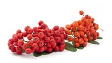 Free Bunch Ofred Rowan Royalty Free Stock Photo - 16019025