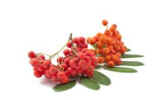 Bunch Of Red Rowan Stock Images
