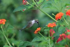 Free Hummingbird Stock Photography - 16019502