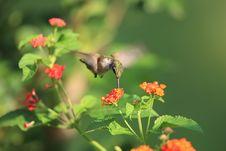 Free Hummingbird Stock Photos - 16019553