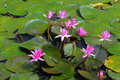Free Water Lilly Royalty Free Stock Photography - 16022977