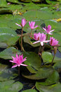 Free Water Lilly Royalty Free Stock Photos - 16023008