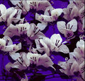 Free White Bougainvillea On Purple Painted Wall Royalty Free Stock Photography - 16024797