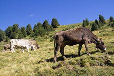 Free Cows Stock Photos - 16022763