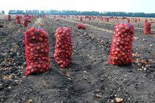 Free Harvesting Onion Stock Photos - 16023003