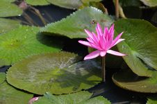 Free Water Lilly Stock Photography - 16023092